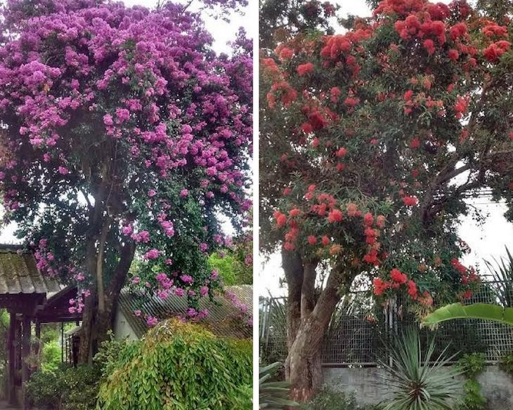 Dos árboles especiales de nuestro jardín: Buganvilla arbórea y Eucalipto rojo