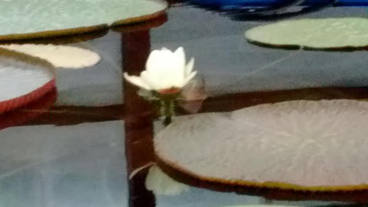 Primera flor de Victoria Amazónica Regia