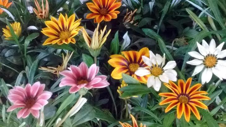 ¡Qué bonitas las gazanias que plantamos y nos llevamos a casa!