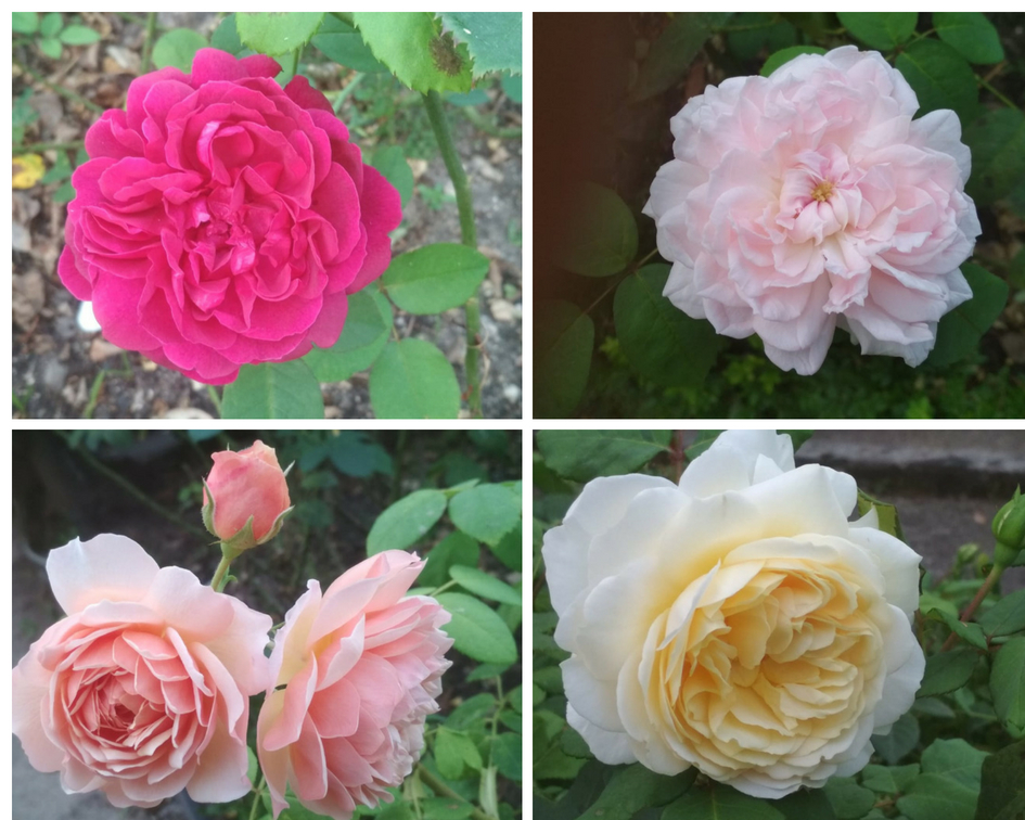 ¿Os llega el delicado aroma de nuestras rosas de David Austin?